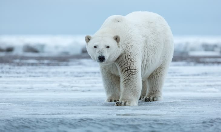 Polar-bear-standing-on-shore-ice