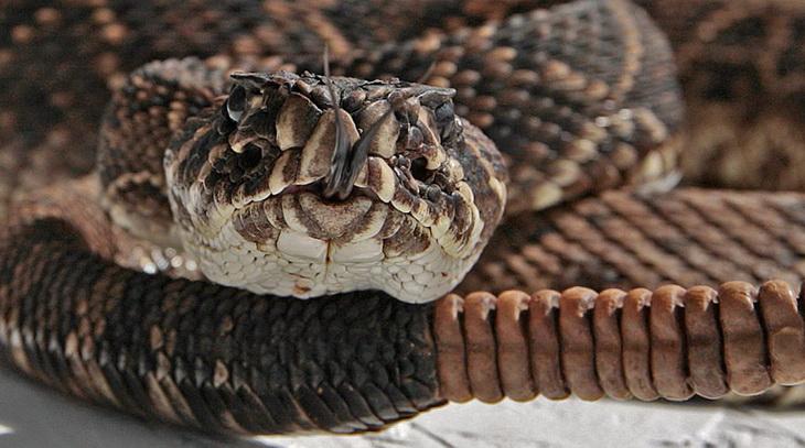 The Rattlesnake Derby