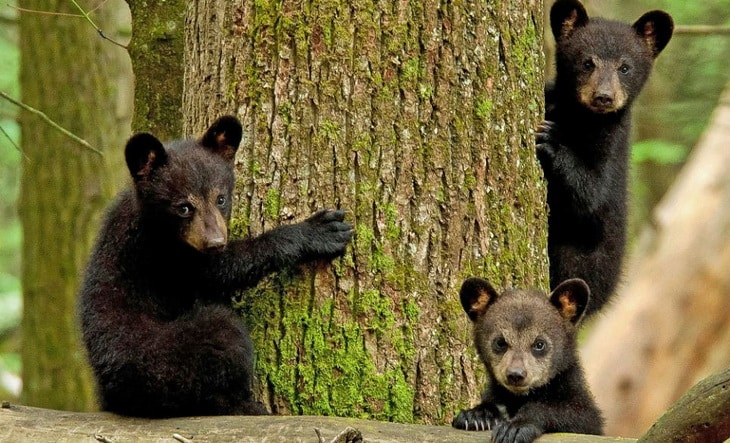 Three adorable Black Bear cubs look gingerly at photographer