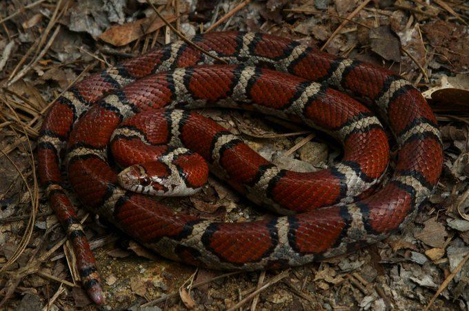 Red Milk Snake in Alabama
