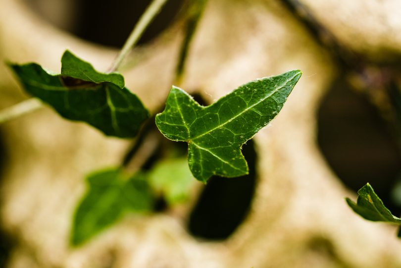 Poison Ivy plant