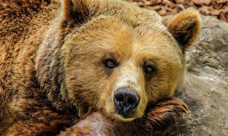 bear at zoo looking straight at the camera