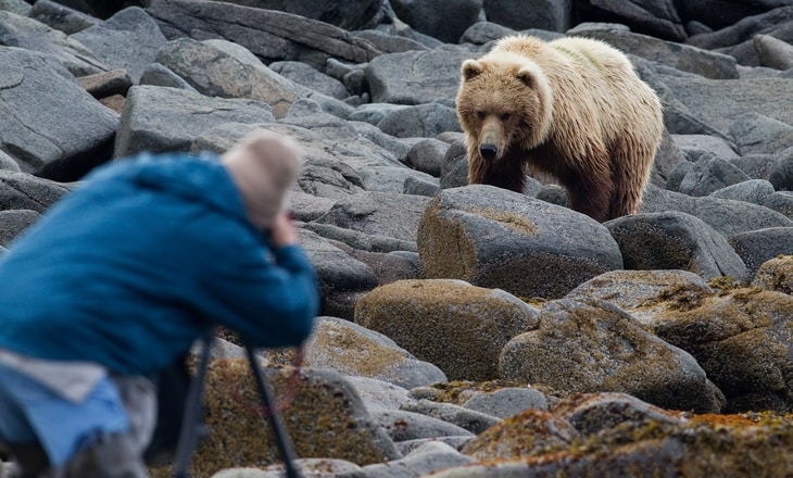 A man photographing a brown bear, Ursus arctos.