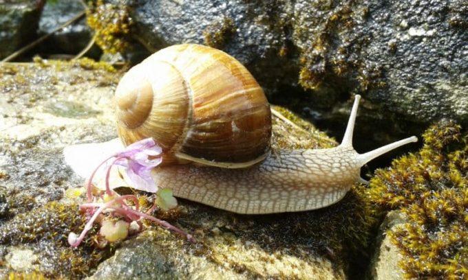 eatable-snail