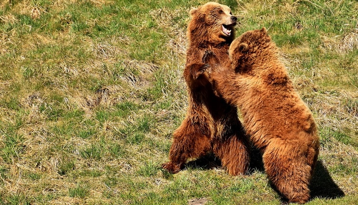Two european-brown-bears playing