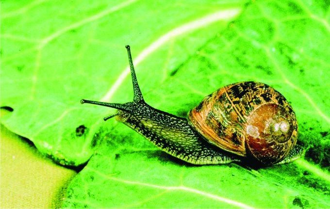 garden-snail