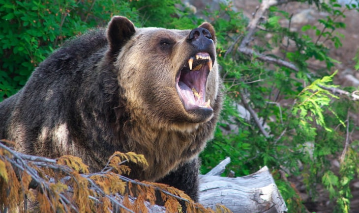 grizzly-bear in the forest