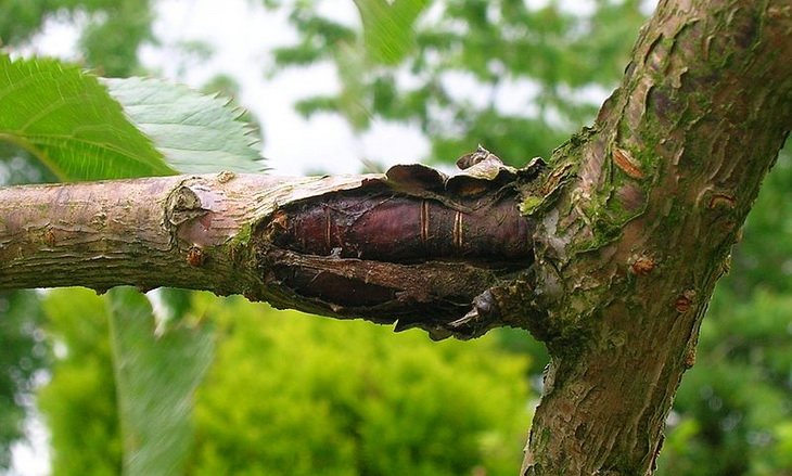 image of bacterial canker on tree