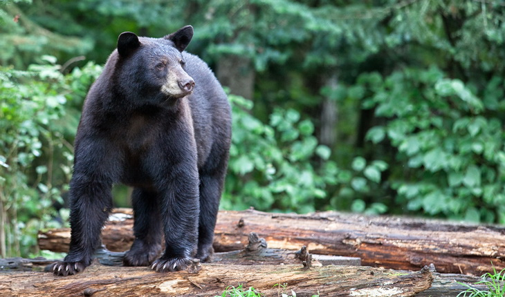 Black bear in the forest