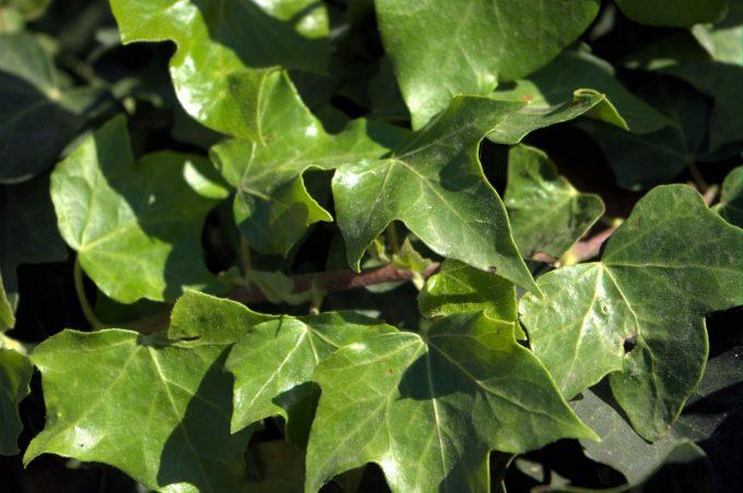 Ivy plant poison