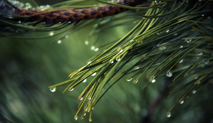 drops of water on green-pine tree