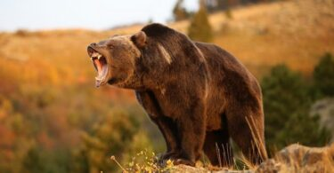Brown bear getting ready to attack