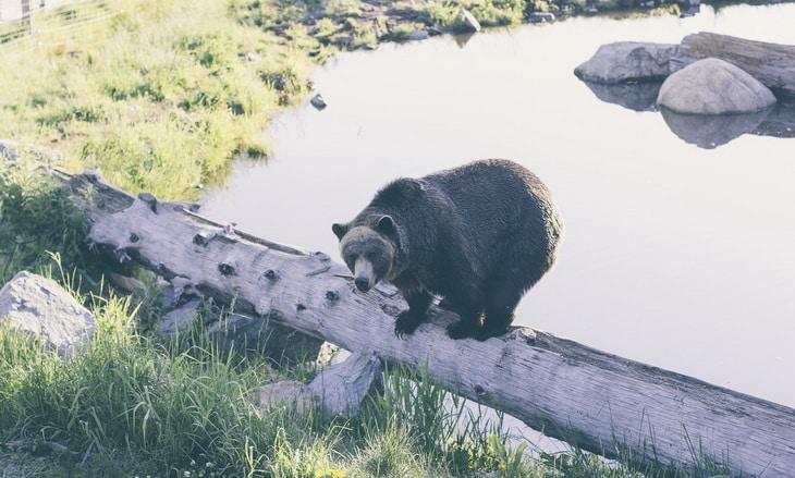 Black Bear Standing on Wood Log Inside Enclosed Area