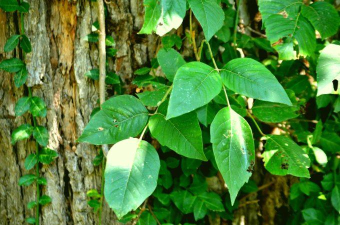 Poison Ivy rash plant