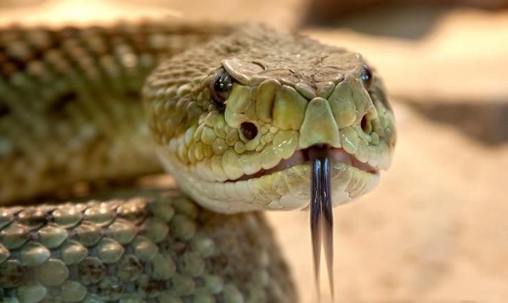 Close-up of rattlesnak