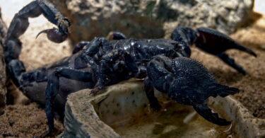 Black scorpion on the ground