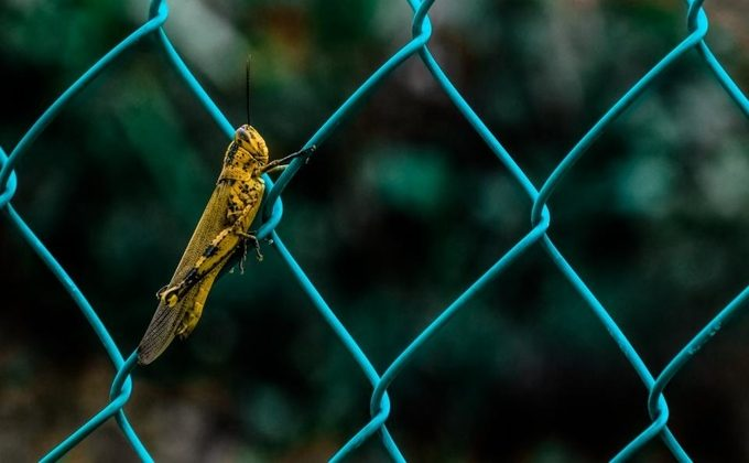 A small yellow insect